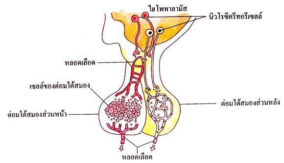 ฮอร์โมนจากต่อมไร้ท่อ